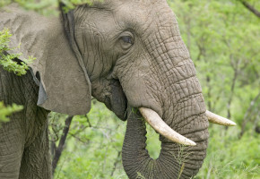 Sydafrikansk Elefant Vandramera - Vandringsresor