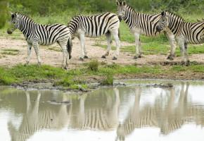 Sydafrika Zebror Vandramera - Vandringsresor