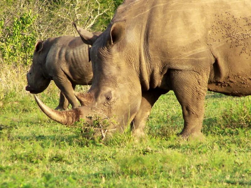Sydafrika Noshörning - Vandringsresor